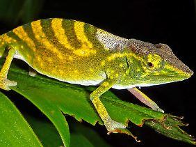 Ein etwa 15 Zentimeter langes männliches Exemplar des Tarzan-Chamäleons mit ausgeprägter Stress-Färbung.
