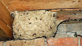 Wespen bauen gern in Hohlräumen.