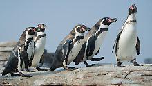 Wildtierforscher auf vier Rädern: Robo-Küken spioniert Pinguine aus