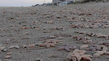 Tote Seesterne so weit das Auge reicht. Die Population ist offenbar dennoch nicht bedroht.