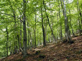 """Buchen im Nationalpark """"Kellerwald-Edersee"""" in Hessen."""