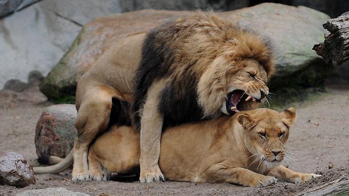 Ein Löwenmännchen paart sich mit einer Löwin.
