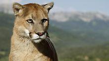 Schreie im Vorgarten: Mutter befreit Sohn aus Puma-Maul