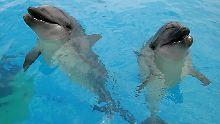 Tiere im Drogenrausch: Wenn Delfine Kugelfische kiffen