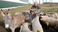 Langohren beschützen Schafe: Furchterregende Esel sollen Wölfe vertreiben