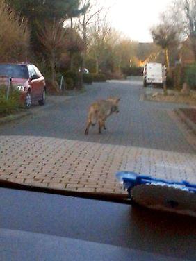 Ein Wolf in einem Wohngebiet kann einem schon Angst einjagen.