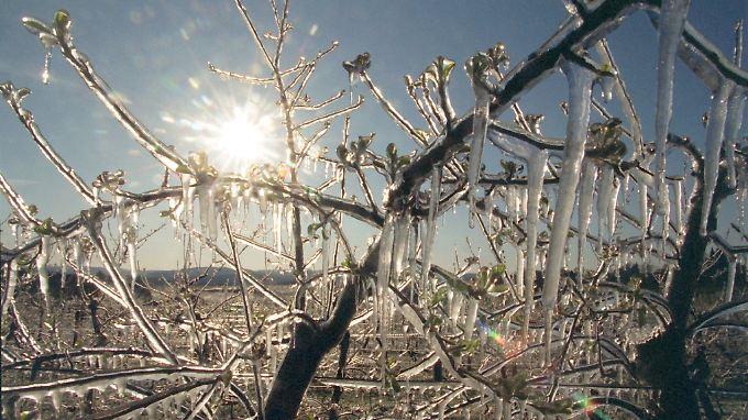 Frostschutzberegnung schützt nicht nur die Blüten vor dem Kältetod, sondern macht aus Obstbäumen vereiste Naturschönheiten.