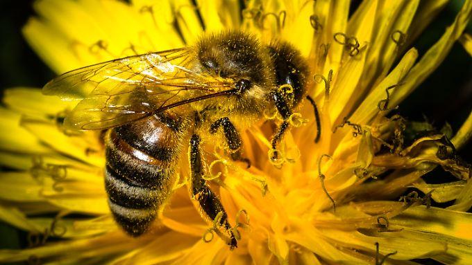 Neonicotinoide wirken auf das Nervensystem der Bienen ähnlich wie Nikotin beim Menschen.