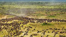 Überwältigender Anblick: Die großen Tierwanderungen in der Serengeti. (Bild vom 25. August 2010)
