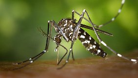 Die Tigermücke ist einer der Überträger des Dengue-Fiebers. Gegen sie hilft nur Gift.