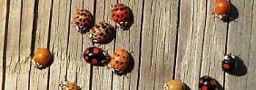 Je leuchtender, desto schlimmer: Sehr bunte Marienkäfer sind besonders giftig