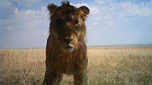Auch bei diesem jungen Löwen hat die Fotofalle zugeschnappt.