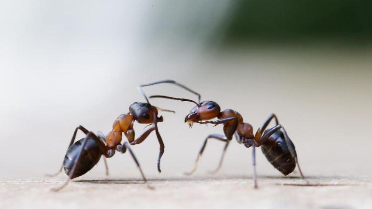 Kreide, Thymian und Zitrone: Das hilft gegen Ameisen im Haus - n-tv.de