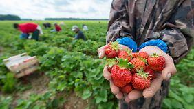 Aus für Erdbeeren aus Deutschland?: Wetter und Mindestlohn macht Bauern zu schaffen
