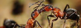 """""""Gebremste Katastrophe"""": Die Ameisen in Deutschland schwinden"""
