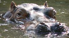 Frage & Antwort, Nr. 386: Können Flusspferde ertrinken?