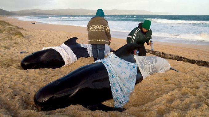 In Neuseeland gestrandet: Helfer kämpfen um Wale