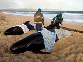 Freiwillige versuchen mit allen Mitteln die Tiere vor dem Austrocknen zu bewahren, trotzdem ist der Großteil der Tiere gestorben.