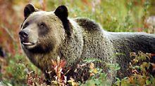 Bär tötet Wanderer in Nationalpark: Grizzly soll wohl eingeschläfert werden