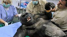 ... die beim Transport des Tieres, vor allem, wenn es ein großes Wildtier ist, zu einem geeignetem Diagnosegerät beginnen.