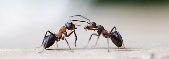 Freund oder Feind: Ameisen können das mit ihren Fühlern feststellen.