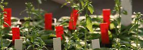 Schnelleres Wurzelwachstum: Pflanze entsorgt TNT aus Böden
