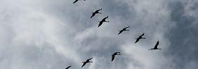 Wie sich der Vogelzug verändert: Alle Vögel bleiben da?