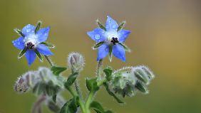 Die blaue Blüte des Borretsch ist typisch. Nur in seltenen Fällen ist sie weiß.