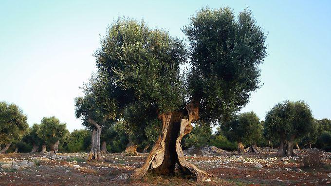 Auch uralte Olivenbäume sind diesem Erreger ausgeliefert.