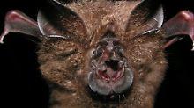 Fundsache, Nr. 1312: Museum entdeckt neue Fledermausart im Regal