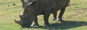 Zahl der Löwen schwindet dramatisch: WWF beklagt Aussterben von Nashörnern