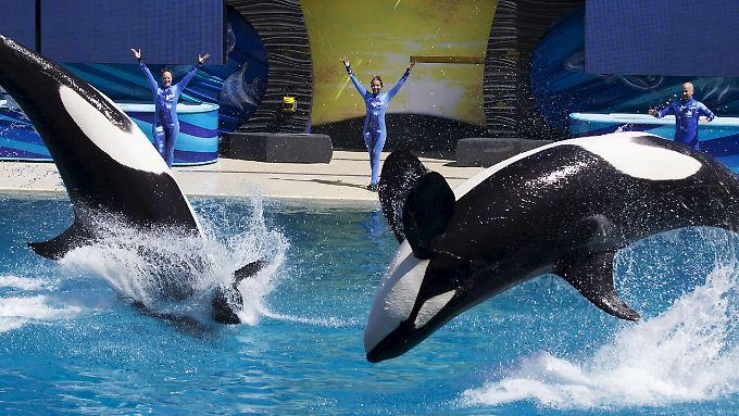 In einem von drei Freizeitparks: SeaWorld stellt Orca-Show in San Diego ein