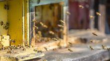Das meisterforschte Insekt: Mensch nutzt Biene schon viel länger