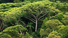 Dichter atlantischer Regenwald auf der Ilha do Cardoso im brasilianischen Bundesstaat Sao Paulo.