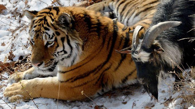 Tiger Amur hat sein Futter mehr als nur zum Fressen gern und verschont Timur bereits seit vier Wochen.