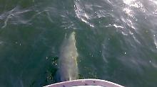 """""""Gute Überlebenschancen"""": Delfine tummeln sich in der Ostsee"""