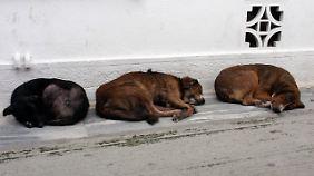Bei Straßenhunden können genetische Schäden durch natürliche Selektion behoben werden.