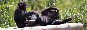 Forscher haben die sozialen Beziehungen von Schimpansen genauer unter die Lupe genommen.
