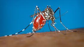Das Zika-Virus wird von Mücken übertragen.