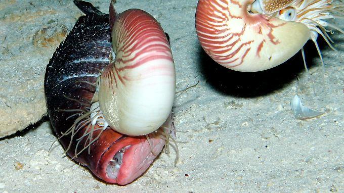 Perlboote in ihrer natürlichen Umgebung. Das linke Tier frisst gerade Fisch.