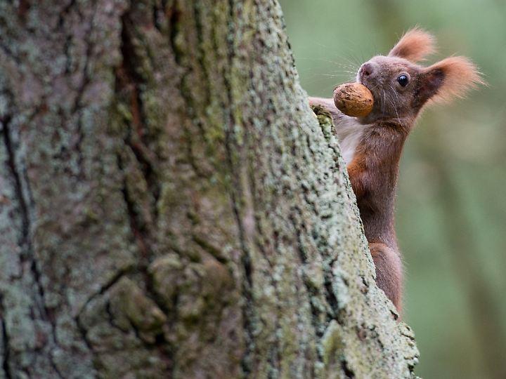 """Auch Eichhörnchen legen Vorräte an - das ist aber keine Planung, sondern """"reiner Automatismus""""."""