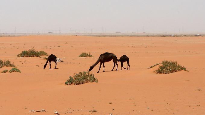 Kamele vor dem Khurais-Ölfeld in der saudichen Wüste zwischen der Hauptstadt Riad und dem Golf-Ölhafen Dammam. Die Wüstenölanbieter bleiben bei ihrem harten Kurs gegen Nicht-Opec-Produzenten.