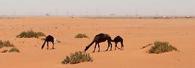 Kamele vor dem Khurais-Ölfeld in der saudichen Wüste zwischen der Hauptstast Riad und dem Golf-Ölhafen Dammam. Die Wüstenölanbieter bleiben bei ihrem harten Kurs gegen Nicht-Opec-Produzenten.