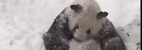 """""""Er war ziemlich begeistert"""": Schneesturm verzückt Panda"""