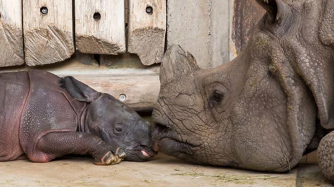 """Panzernashorn """"Betty"""" hatte im September 2015 im Zoo von Berlin nach 16 Monaten Tragzeit einen kleinen Bullen geboren."""