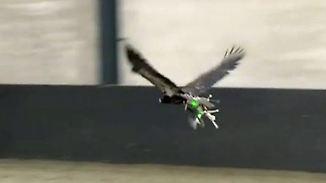 Gefahrenabwehr am Himmel: Adler werden auf Drohnen abgerichtet