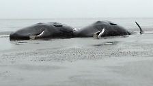 Zunächst waren zwei Pottwale an den Strand von Wangerooge gespült worden, dann wurden auch auf anderen Nordseeinseln tote Tiere gesichtet.