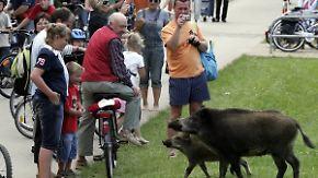 Süß aber nicht ungefährlich: Gefräßige Wildschweine treiben auf Usedom ihr Unwesen