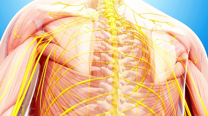 Das Rückenmark ist ein wesentlicher Bestandteil des Nervensystems.