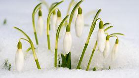 Die ersten Frühblüher zeigen sich zwar, sind aber noch von Schnee bedeckt.